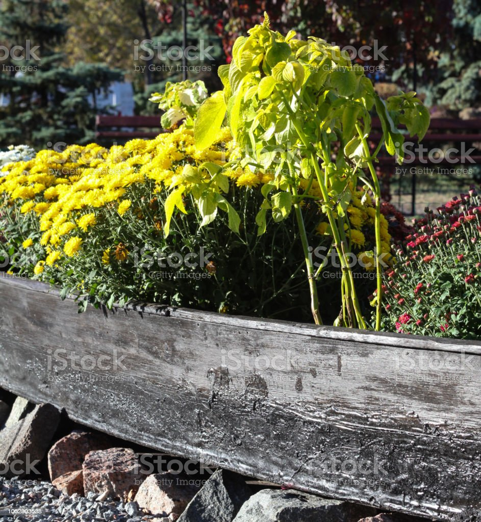 Yellow and red chrysanthemum flowers in the wooden flower box in the...