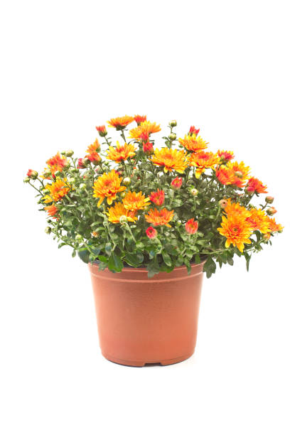 chrysant bloemen geïsoleerd op wit - chrysant stockfoto's en -beelden