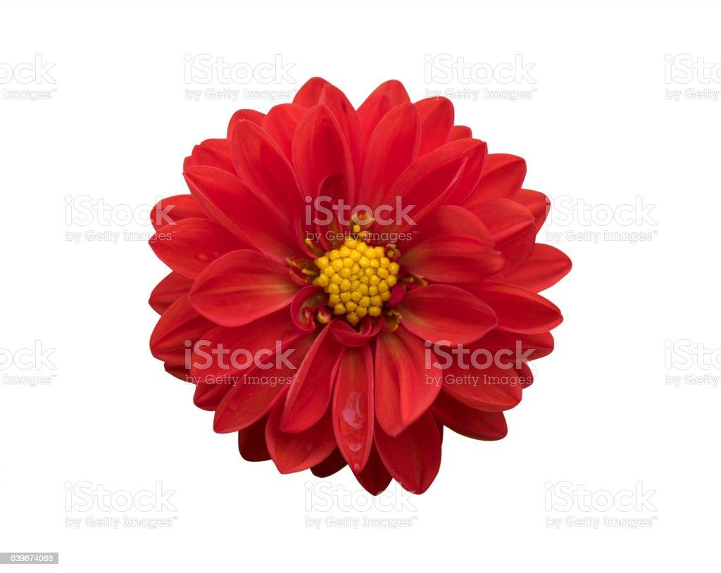 Crisantemo flores  - foto de stock