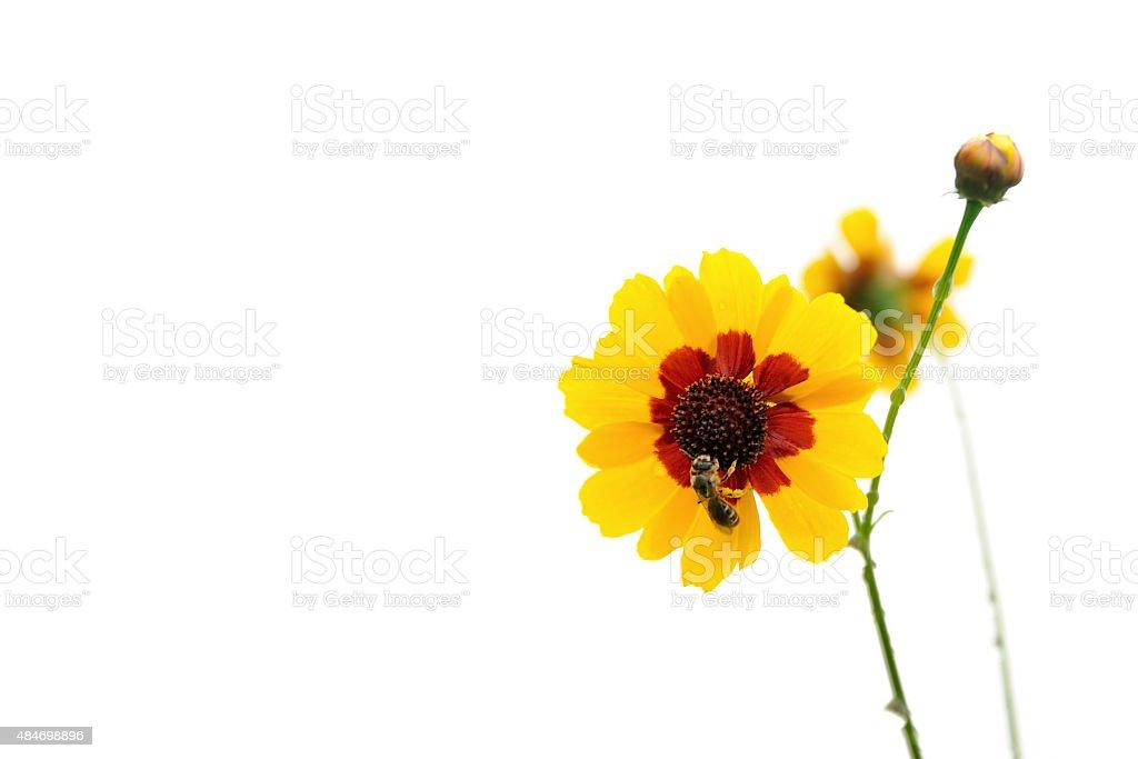 Fleurs de chrysanthème avec des abeilles isolé - Photo