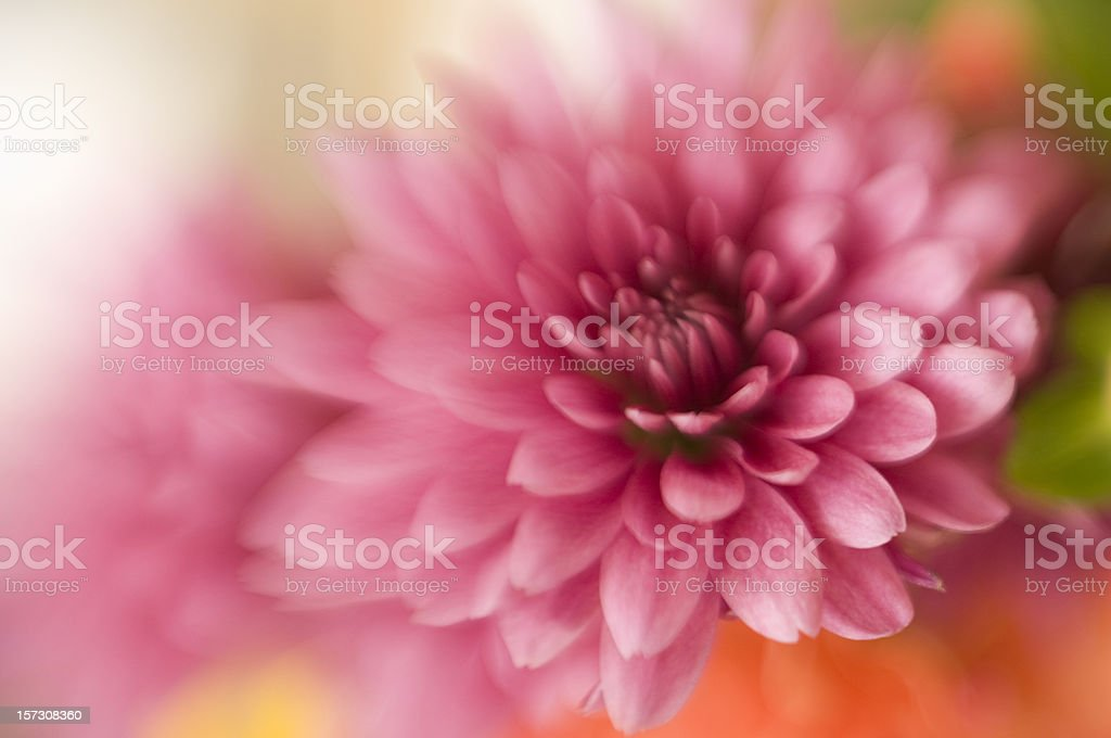 Chrysanthemum in Bloom Soft Focus Abstract royalty-free stock photo