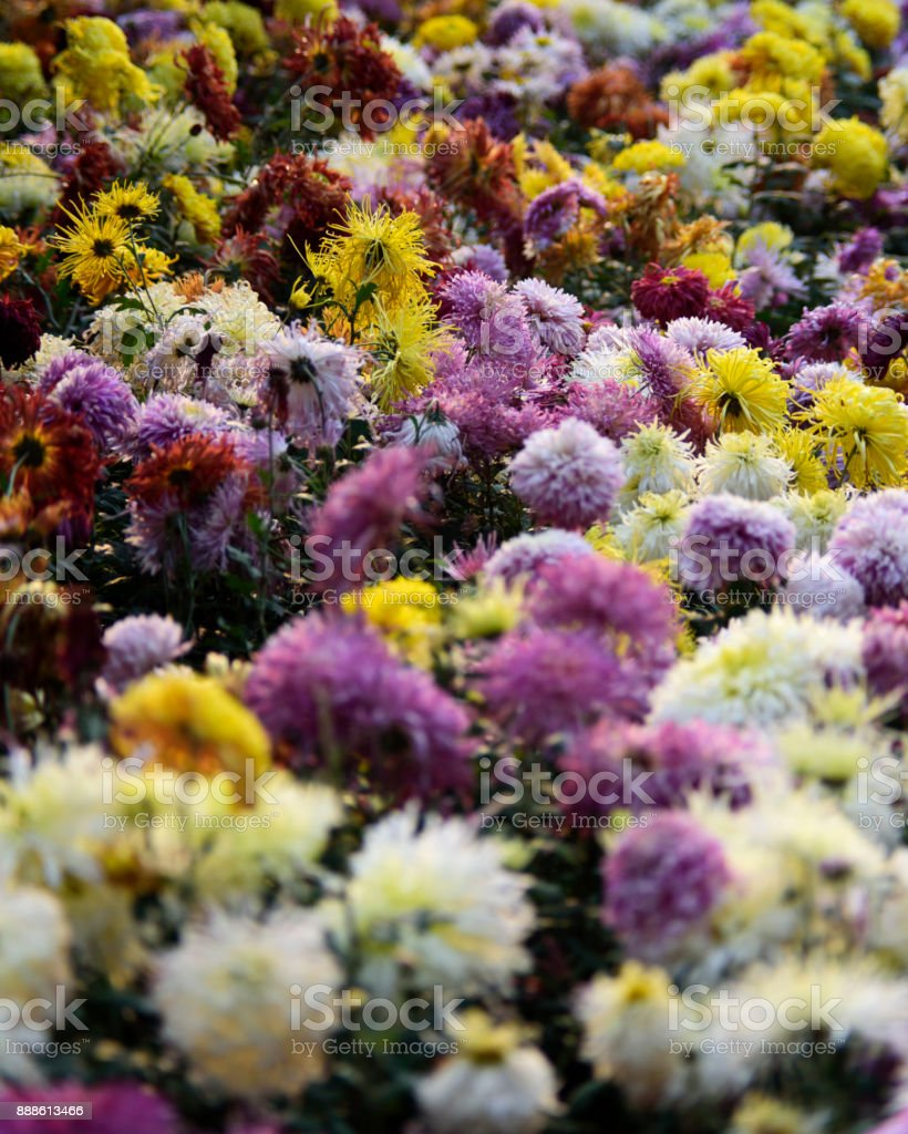 Chrysanthemum in the sunshine stock photo