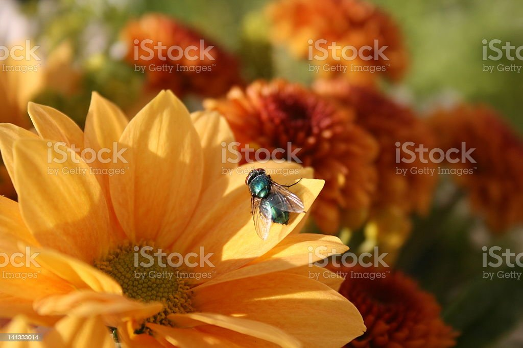 Chrysanthemum indicum royalty-free stock photo