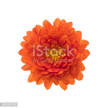 Chrysanthemum isolated on white. Deep Focus. No dust. No pollen.