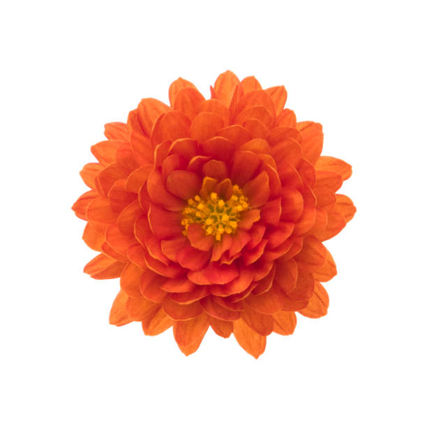 Chrysanthemum isolated on white deep focus no dust no pollen picture id923267332?b=1&k=6&m=923267332&s=612x612&w=0&h=ix997ihbdidqflx yczleypzm3ieg3efoug1cbxumw8=