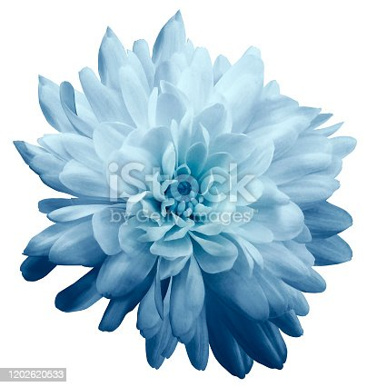 Chrysanthemum  light blue. Flower on  isolated  white background with clipping path without shadows. Close-up. For design. Nature.