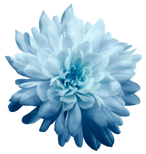 chrysant lichtblauw. bloem op geïsoleerde witte achtergrond met het knippen weg zonder schaduwen. close-up. voor design. aard. - chrysant stockfoto's en -beelden