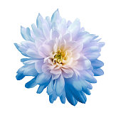 Chrysanthemum  light blue-pink. Flower on  isolated  white background with clipping path without shadows. Close-up. For design. Nature.
