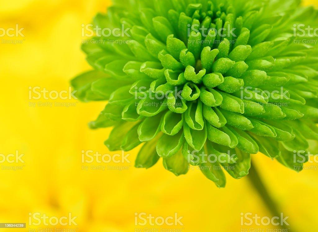 Chrysanthemum macro shot, Asteraceae royalty-free stock photo