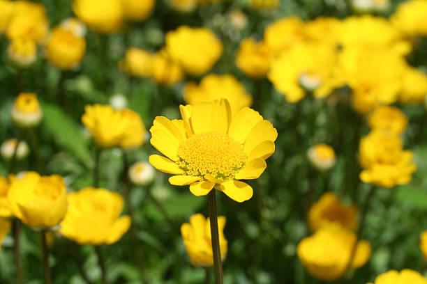 菊 multicaule ストックフォト