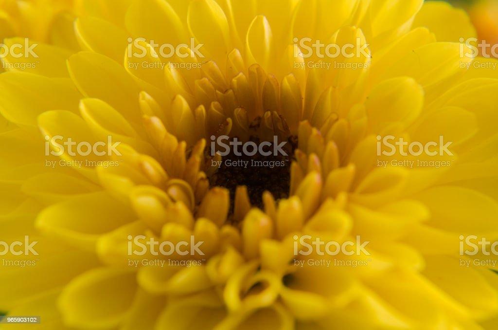 """Crisântemo ou """"flor de ouro"""" - Royalty-free Beleza natural Foto de stock"""