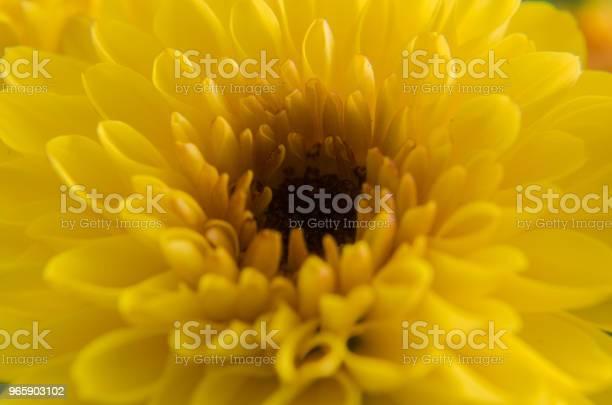Chrysanthemum Or Golden Flower - Fotografias de stock e mais imagens de Beleza natural