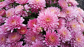 Chrysanthemum pattern in flowers park. Cluster of pink chrysanthemum flowers. Top view. Perfect for design, cards, print.