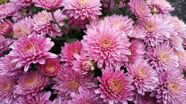 chrysanthemum patroon in bloemenpark. - chrysant stockfoto's en -beelden