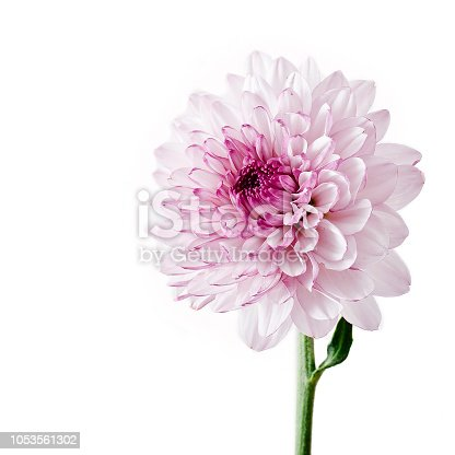 Chrysanthemum flower isolated on a white background