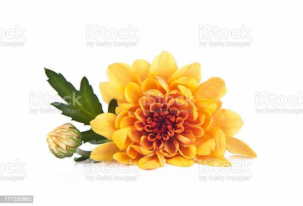 Chrysanthemum picture id171250952?b=1&k=6&m=171250952&s=612x612&h=nuss0nfoub4u d7fypm9llmafpuggqdhi49xah44fu8=