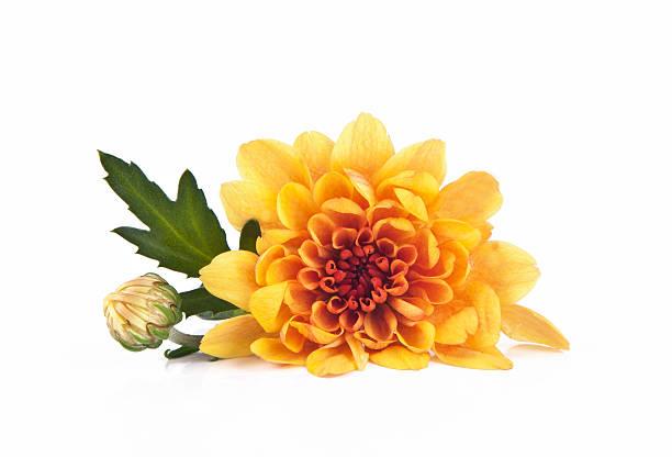 chrysanthemum - chrysant stockfoto's en -beelden