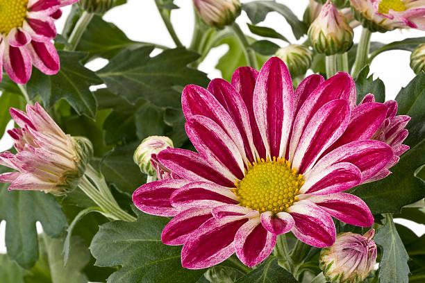 Chrysantheme – Foto