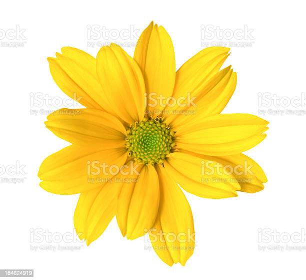 Chrysanthemum picture id184624919?b=1&k=6&m=184624919&s=612x612&h=bgcldw yjtrqrczmpke1ftmfjtirjzqlfqnviajpsdw=