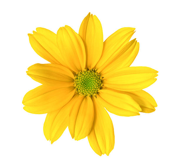 Chrysanthemum Yellow flower on white background single flower stock pictures, royalty-free photos & images