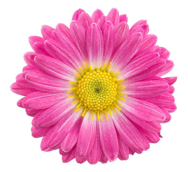 Chrysanthemum picture id184959366?b=1&k=6&m=184959366&s=612x612&w=0&h=haehe8r8wip0juidm uwjz13xscoiojol0vpom88qvc=