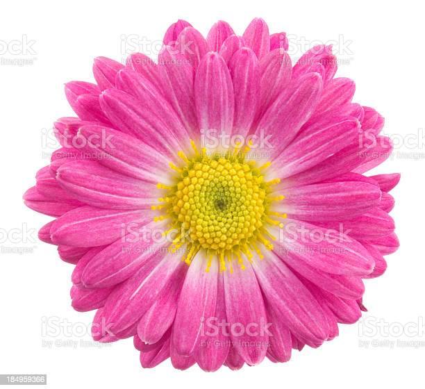Photo of Chrysanthemum