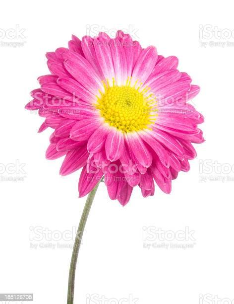 Chrysanthemum picture id185126708?b=1&k=6&m=185126708&s=612x612&h=upzouvwfbr6db1d3u7q7zgyoid fj17ipwhzrr7zm 4=