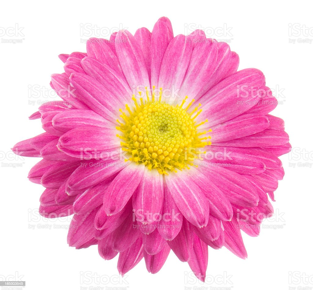 Chrysanthemum. royalty-free stock photo