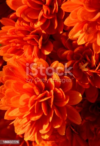 Orange chrysanthemum.