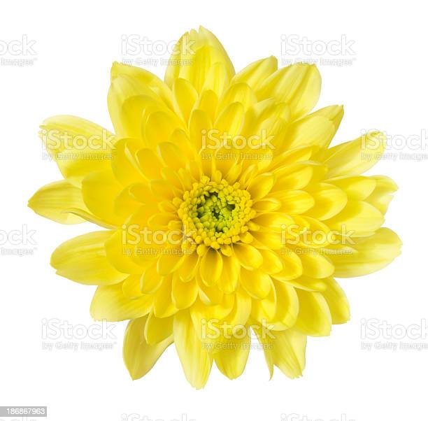 Chrysanthemum picture id186867963?b=1&k=6&m=186867963&s=612x612&h=cneh0yrrwr0h8de8p0qwrzedqgroykiynig1n5lwwti=