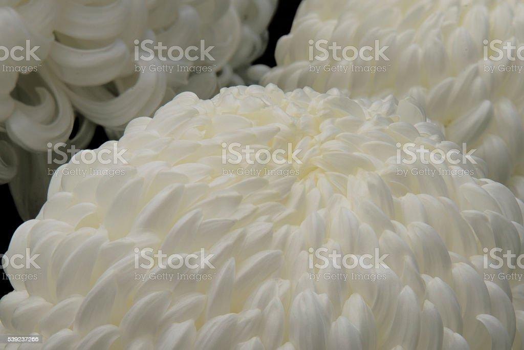 Crisantemo foto de stock libre de derechos