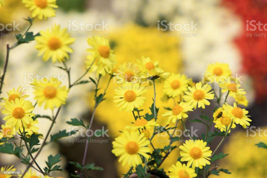 Chrysanthemum royalty-free stock photo