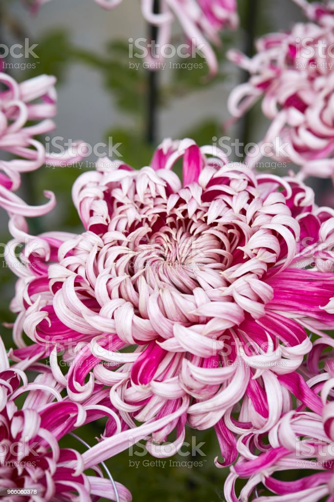 Krysantemum - Royaltyfri Blomkorg - Blomdel Bildbanksbilder