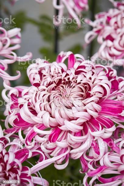 Krysantemum-foton och fler bilder på Blomkorg - Blomdel