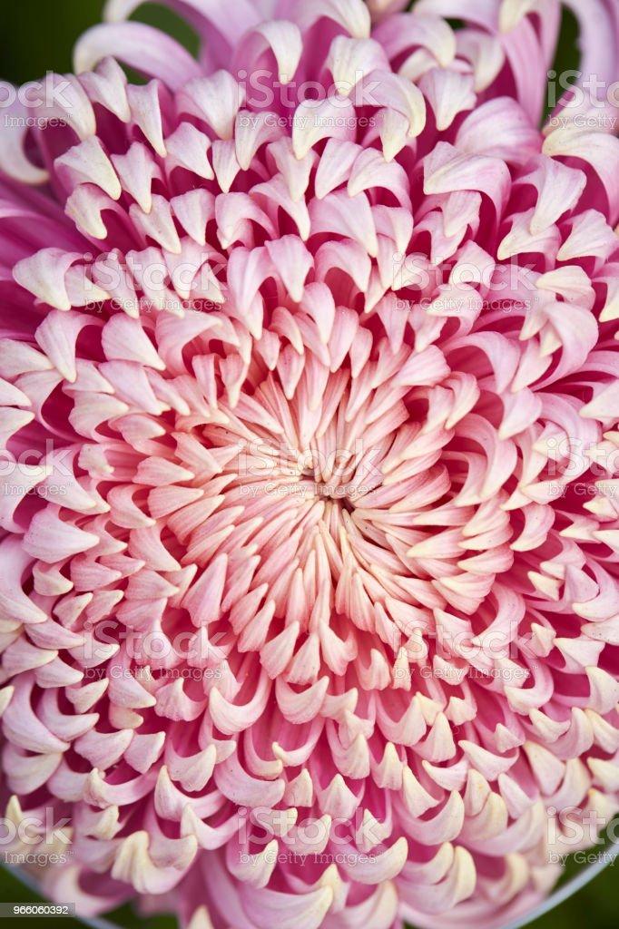 Chrysanthemum - Royalty-free Beauty Stock Photo
