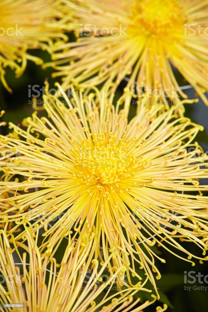 Chrysantheme  - Lizenzfrei Baumblüte Stock-Foto