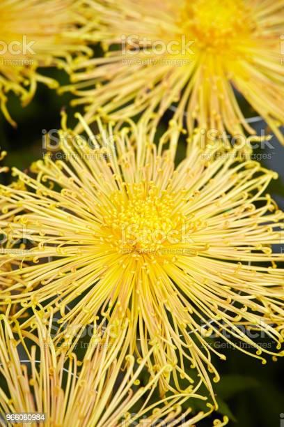 Chrysantheme Stockfoto und mehr Bilder von Baumblüte