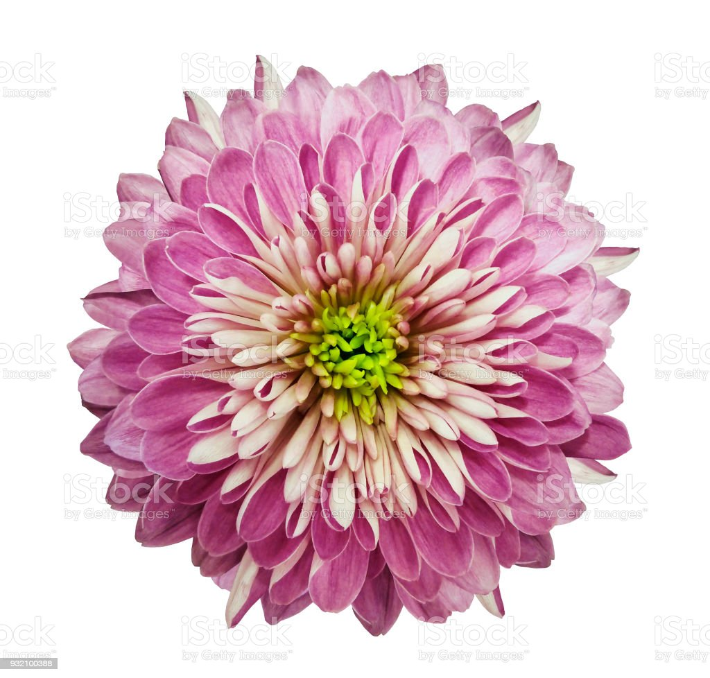 Chrysanthemum Pink Flower On Isolated White Background With Clipping
