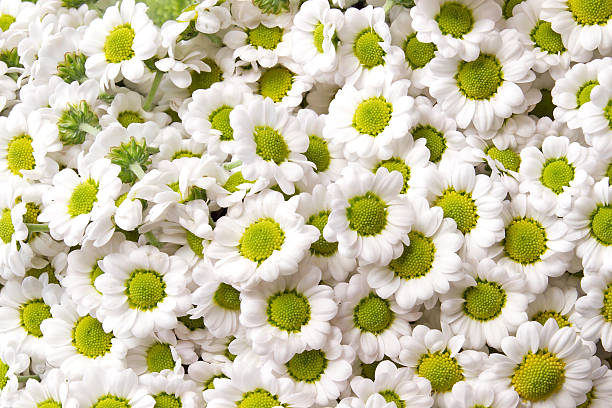 chrysanthemum santini Madiba Lindi White stock photo
