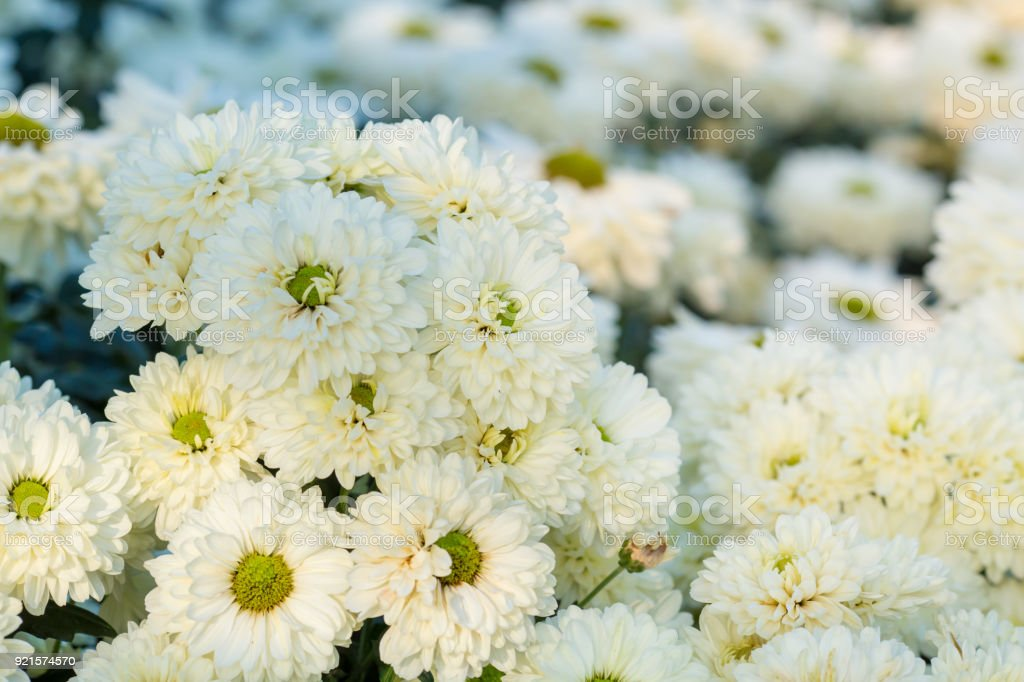 Chrysanthemum White Flowers In The Garden Stock Photo More