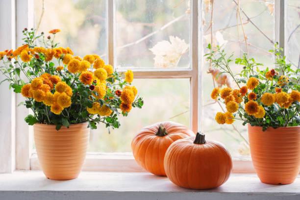chrysanthemums  and pumpkins on old white  windowsill stock photo