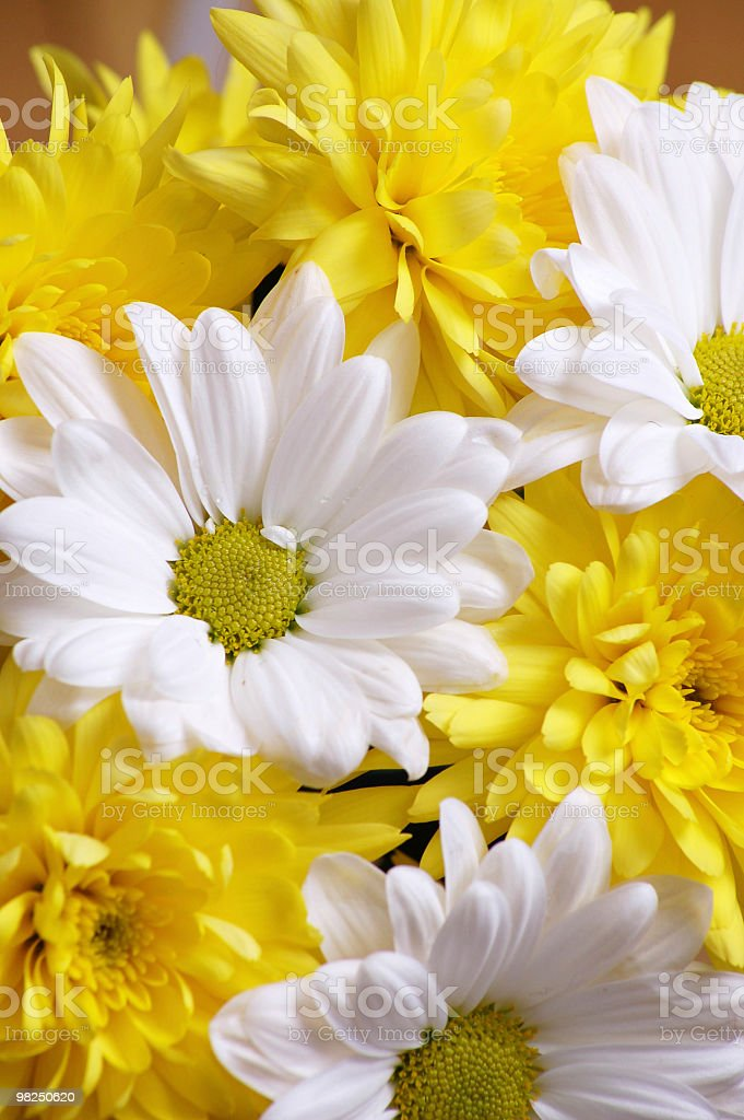 Chrysanthemums background royalty-free stock photo