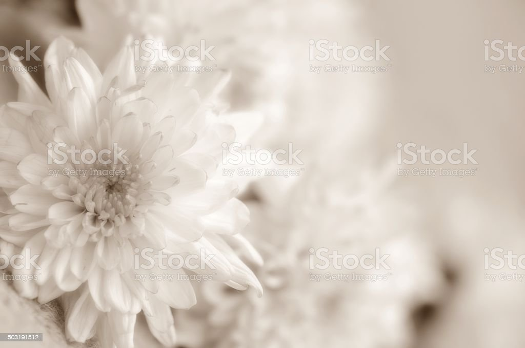 Chrysanthemums flowers soft baclground stock photo