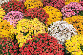 A full frame photograph of a variety of different colored chrysanthemum flowers.