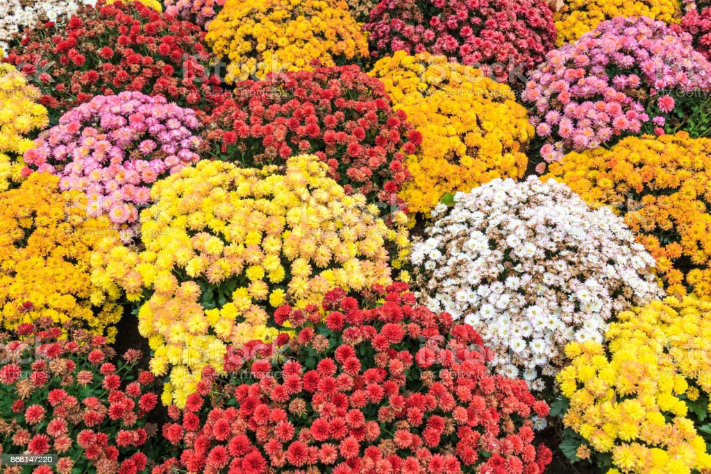 Chrysanthemums in Autumn stock photo