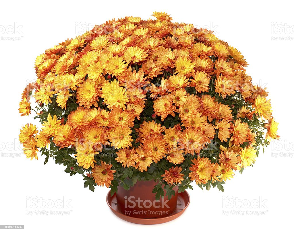 Chrysanthemums in flowerpot – Foto