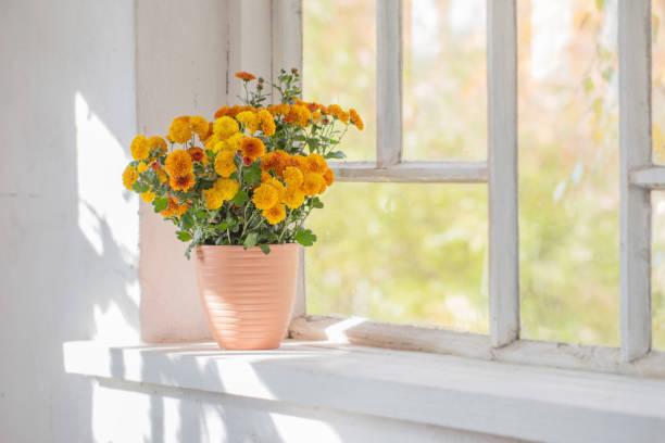 chrysanthemums  in pots on old white  windowsill stock photo