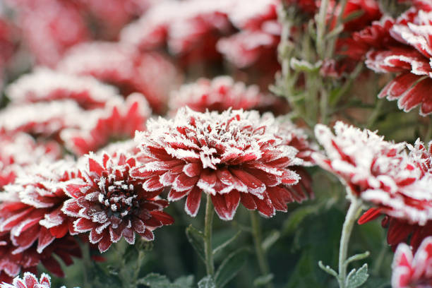 Chrysanthemums in the frost. Flowers in winter stock photo