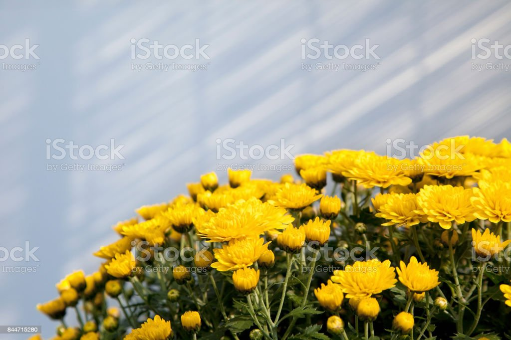 Chrysanthemums indoors stock photo