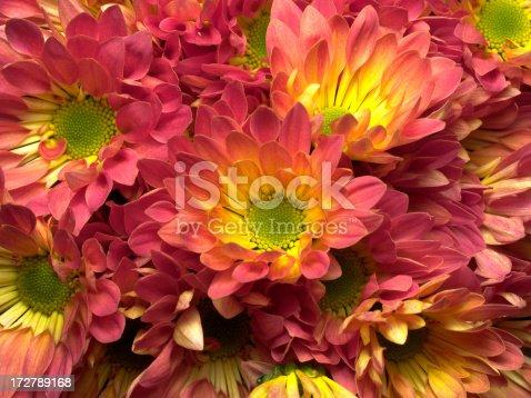 istock chrysanthemums 172789168